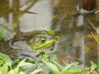 frog-314358_960_720